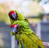 Military Macaw. He military macaw is a large parrot and is medium-sized. Though considered vulnerable as a wild species, it is still commonly found in the pet royalty free stock images
