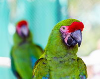 Military Macaw. He military macaw is a large parrot and is medium-sized. Though considered vulnerable as a wild species, it is still commonly found in the pet royalty free stock image