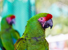 Military Macaw. He military macaw is a large parrot and is medium-sized. Though considered vulnerable as a wild species, it is still commonly found in the pet stock images