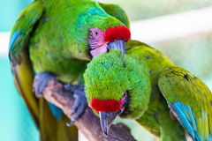 Military Macaw. He military macaw is a large parrot and is medium-sized. Though considered vulnerable as a wild species, it is still commonly found in the pet stock photos