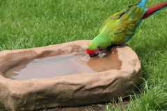 Military Macaw Parrot Bird. A Military Macaw Parrot Bird Having a Drink of Water royalty free stock images