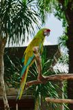 Military Macaw parrot sitting on the branch in front of palm trees ant temple.  stock photography