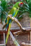 Military Macaw parrot sitting on the branch in front of palm trees ant temple.  stock image
