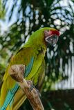 Military Macaw parrot sitting on the branch in front of palm trees.  royalty free stock photography