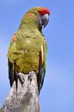 Military macaw perched Royalty Free Stock Photography