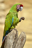 Military macaw perched Stock Photos