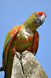 Military macaw perched Royalty Free Stock Photo