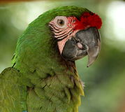 Military Macaw Portrait. Portrait of military macaw parrot on light green background royalty free stock photography