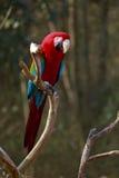 Military Macaw Stock Photos