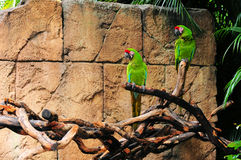 Military Macaws Royalty Free Stock Photo
