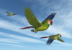 Military Macaws in Flight Stock Images