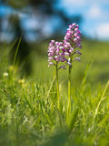 Military Orchid Stock Images
