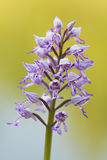 Military Orchid - Orchis militaris. Military orchid flower in White Carpathians Royalty Free Stock Photos