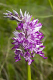 Military orchid. Plant purple blossom - Orchis militaris. Beautiful flower blooms in a natural environment Royalty Free Stock Images