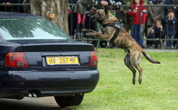 Military police dog. Jumping on car Royalty Free Stock Image