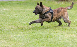 Military police dog. Running on field Stock Image