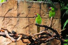 militära macaws Royaltyfri Foto