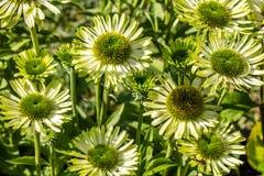 Miljö av att blomma blommor av den gröna juvelechinaceaen för flora Arkivbilder