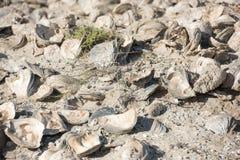 Miljard éénjarigenshells op het strand stock afbeelding