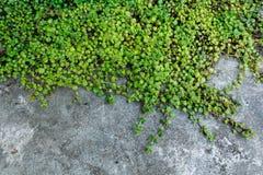 Miljoen hartenboom Stock Fotografie