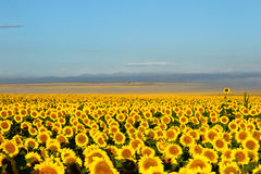 Miljoenen zonnebloemen met mist en bergen in backgro Royalty-vrije Stock Foto