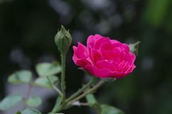 Miljonärrosor och grodd som växer och blommar i garde royaltyfri foto