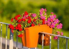 Miljon detalj för klockablomma Röd sommar och lilablom Härliga växter i trädgård Garnering för sommarhus Fotografering för Bildbyråer