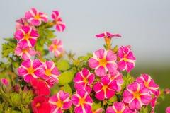 Miljon detalj för klockablomma Röd sommar och lilablom Härliga växter i trädgård Garnering för sommarhus Royaltyfri Fotografi