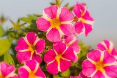 Miljon detalj för klockablomma Röd sommar och lilablom Härliga växter i trädgård Garnering för sommarhus Arkivfoton