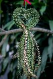 Miljon HeartDischidia ruscifolia Decne före detta Becc i form av hjärta formad dekorativ växt Royaltyfri Bild