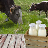 Milk in bottles on a background of grazing cows Royalty Free Stock Images