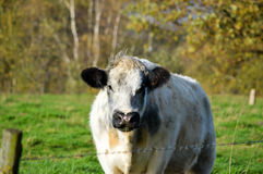 Milk cow on autumn background. Milk cow standing on green grass with autumn colored trees in the background Royalty Free Stock Images