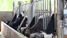 Milk cow farm at Don Duong district, Da Lat city, Lam Dong province, Vietnam stock video