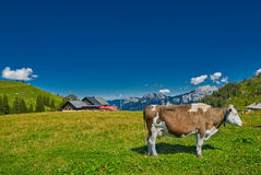 Milk Cow feeding grass in Austrian Alps Stock Photo