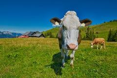 Milk Cow feeding grass in Austrian Alps Royalty Free Stock Image
