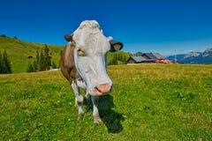Milk Cow feeding grass in Austrian Alps Stock Image