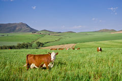 Milk cow in green wheat field Stock Photography