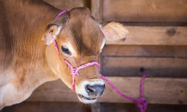 Milk cow. Jersey milk cow in a barn stable Stock Image