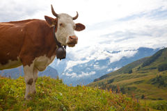 Milk cow on meadow in the Alps Stock Images