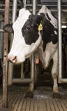 Milk Cow in Milking Stall inside Dairy Farm Barn Stock Image