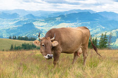 Milk cow on mountain. Milk cow grazing on Carpatian mountain Stock Image