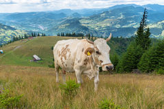 Milk cow on mountain Royalty Free Stock Images