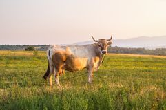 Milk Cow at Mountain Meadow with Golden Sunset stock photo