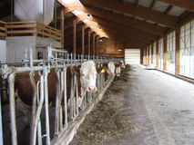 Milk cow in a row at Germany Stock Image