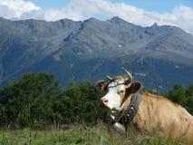 Milk cow in Switzerland summer deu Royalty Free Stock Image
