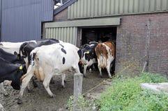 Milk cows Royalty Free Stock Photo