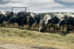 Milk cows eating. Holstein cattle eating hay in the barn yard stock photography