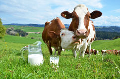 Milk and cows Stock Photos