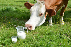 Milk and cows Stock Image