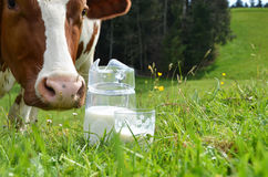 Milk and cows. Stock Photos